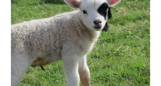 Aye aye - a rather special lamb for Tatton
